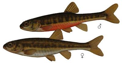 pescardo Phoxinus phoxinus