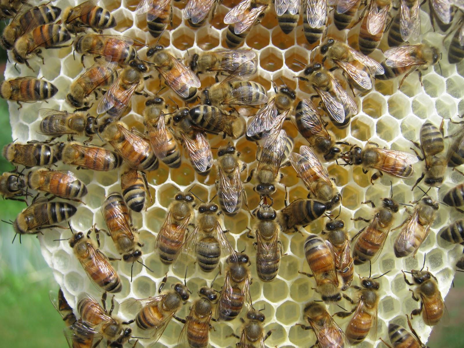 Honey bee Queen, Mated VSH/Pol-line Queen, Queen bee, bees ... - photo#26