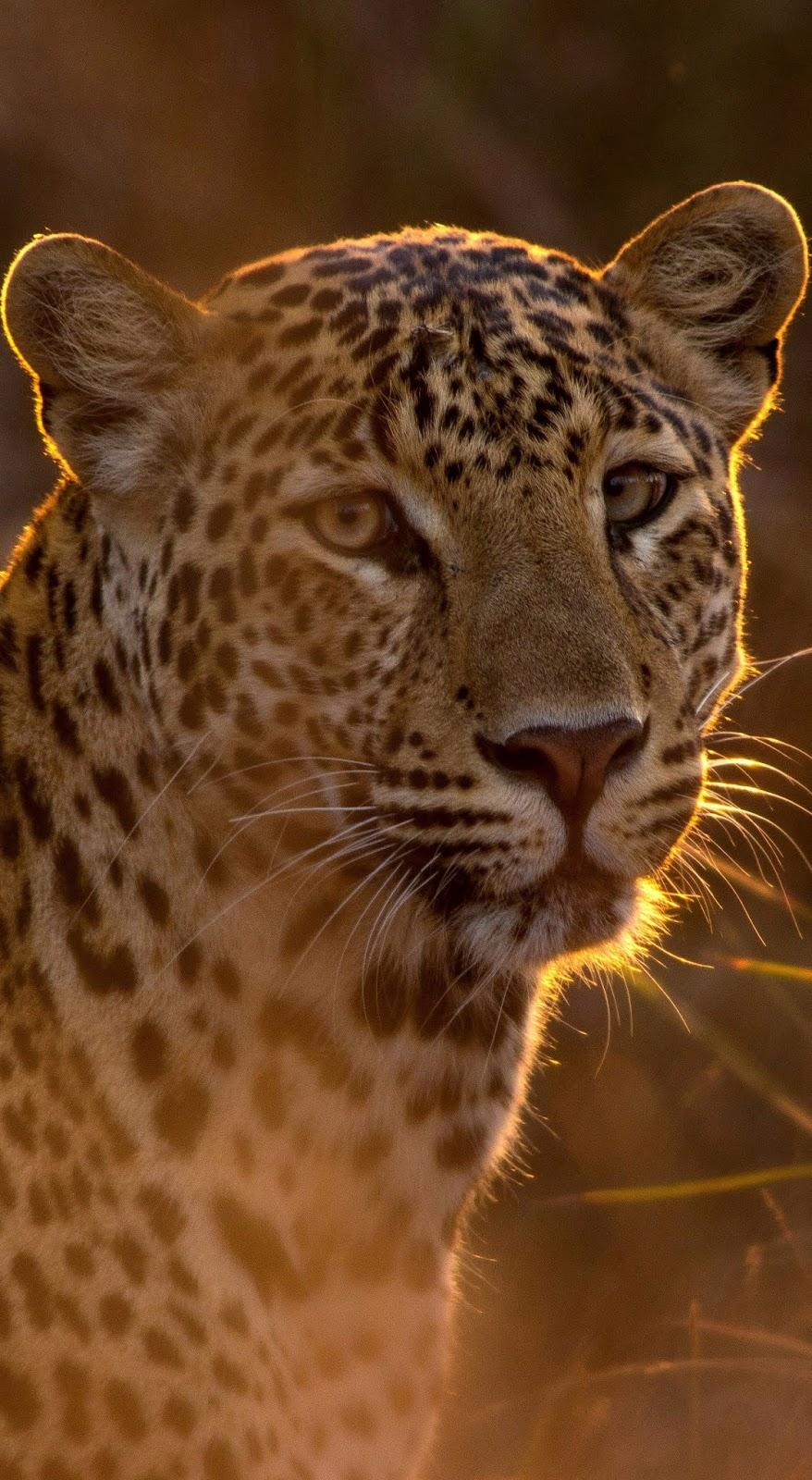 Leopard at sunrise.