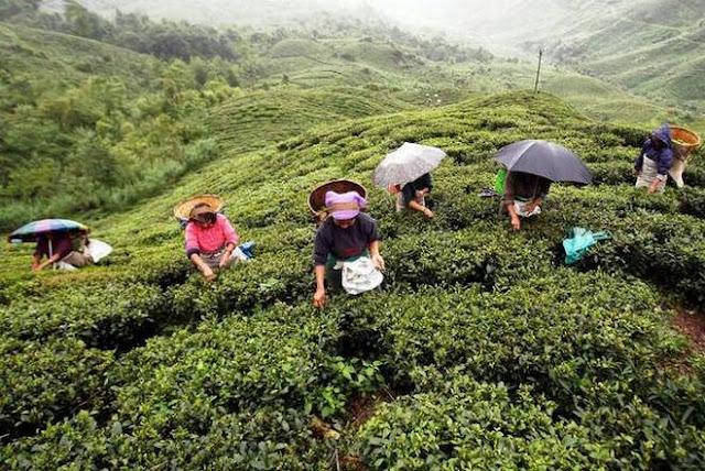 পশ্চিমবঙ্গ ও আসামের চা শ্রমিকদের কল্যাণে ১ হাজার কোটি টাকা বরাদ্দ