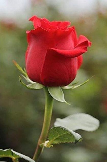 sekuntum bunga mawar merah