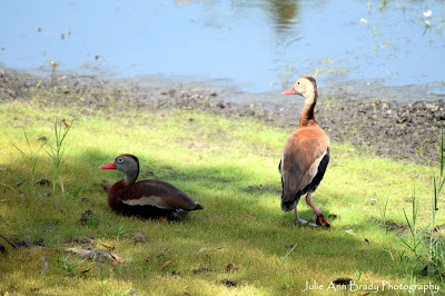 two black-bellied whistling ducks