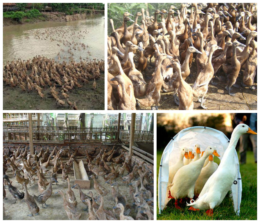 Cara Beternak Bebek Pedaging Bebek Peking Yang Cepat Besar