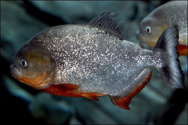 Resultado de imagem para piranhas- peixes