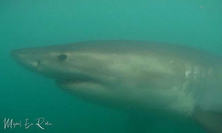 Tiburón-blanco-en-Sudáfrica-desde-la-jaula