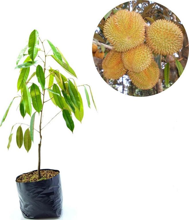 Bibit Tanaman Buah Durian Matahari Manado