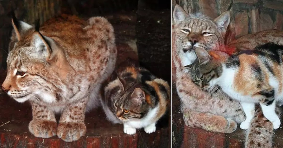 Stray Cat Sneaks Into Zoo And Now Lives With A Wild Eurasian Lynx