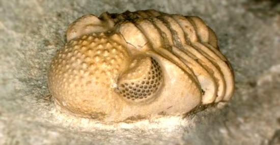 Estranho Fóssil antigo de Trilobita revela centenas de olhos