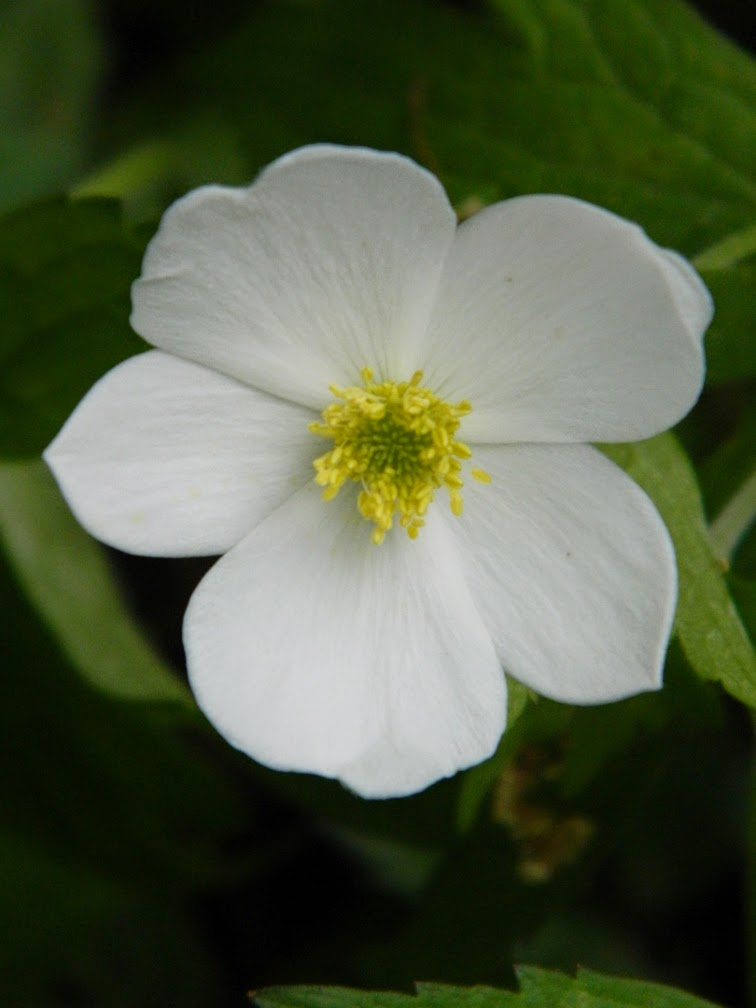 Anemone sylvestris Snowdrop windflower by garden muses-not another Toronto gardening blog