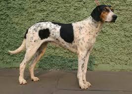 cão rastreador brasileiro