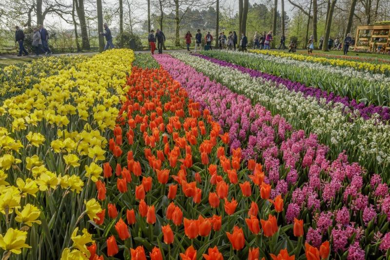 Cultivo de tulipán