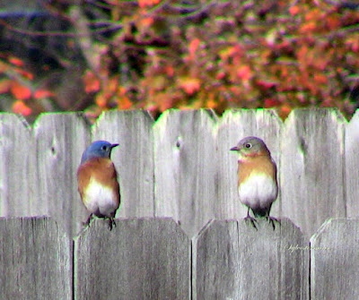 Eastern Bluebirds photo by Sylvestermouse