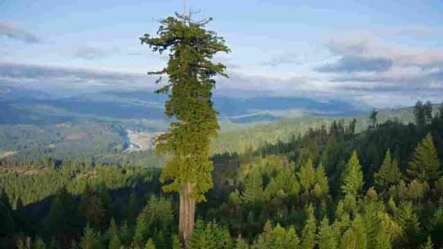 Η σεκόια Hyperion είναι το ψηλότερο δέντρο που μετρήθηκε