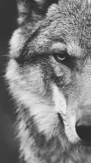 خلفية هاتف ذئب Wolf ينظر بنصف وجه أبيض وأسود
