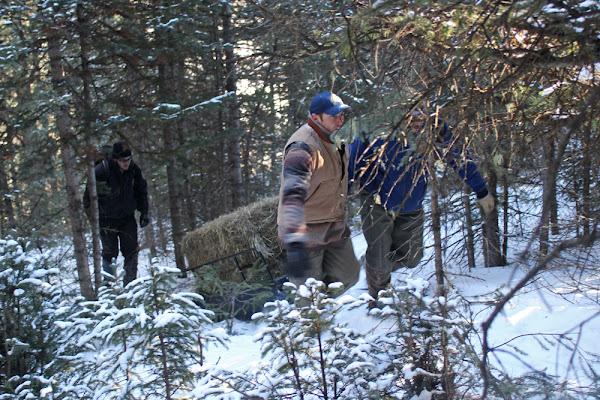 Moving hay bales to an artificial bear den.