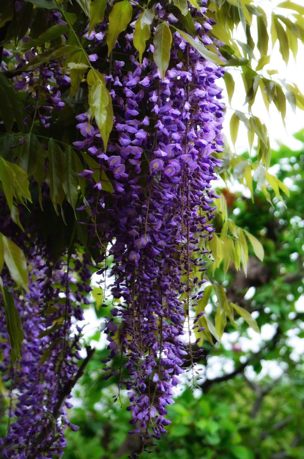 Image result for fuji flower
