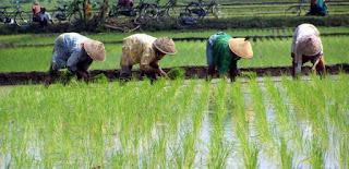 Gotong-Royong dalam menanam padi di sawah