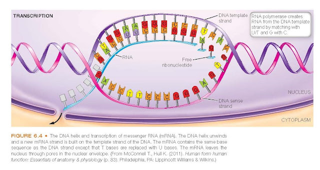 The DNA helix and transcription of messenger RNA (mRNA). The DNA helix unwinds and a new mRNA strand is built on the template strand of the DNA