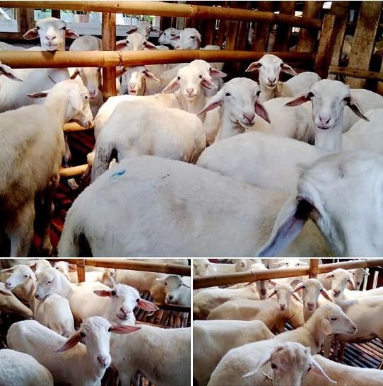 Penggemukan Domba Menguntungkan