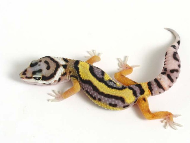 Can Leopard Geckos Eat Bearded Dragon Food