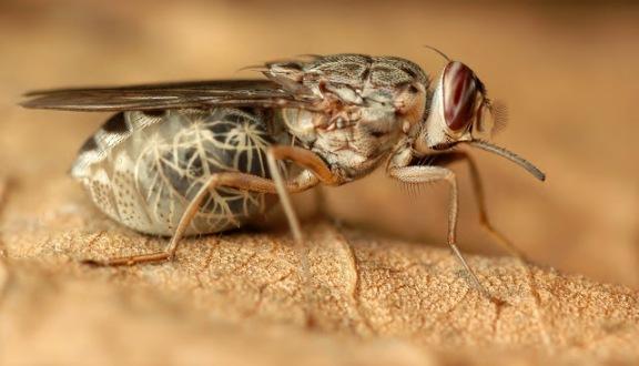 The Tse-Tse Fly