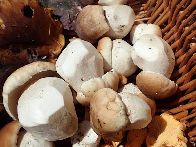 grzyby 2019, grzyby w lipcu, grzyby na Orawie, borowik szlachetny, kolczakówka piekąca