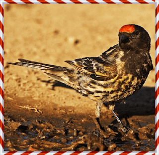 الطائر ذو الجبهة الحمراء