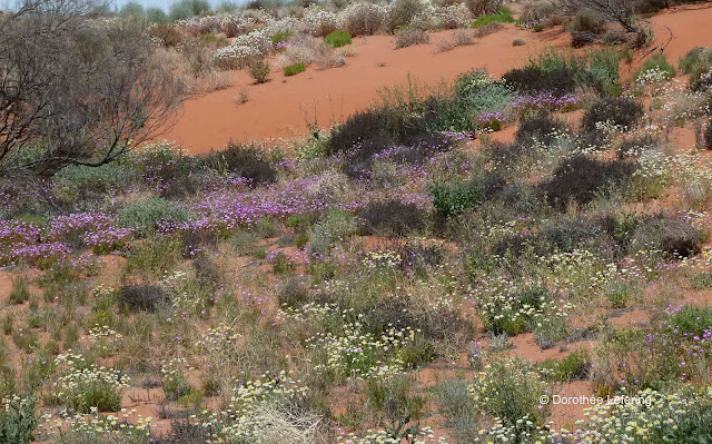 Yellow, white and pink wild flowers in bloom on high red sand dunes.