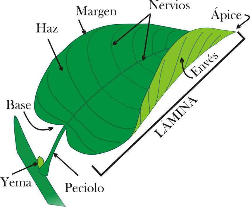 Morfología De La Hoja Botánica Integra