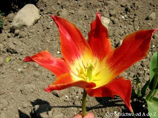 Tulipan liliokształtny 'Aladdin'- wygląd, uprawa i pielęgnacja