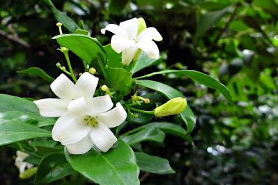manfaat daun kemuning untuk kesehatan