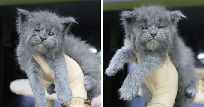 Darling baby kitties,ready to grow up as gentle Gaints