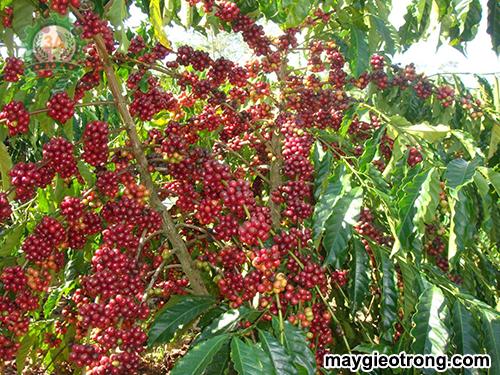 Hướng dẫn kỹ thuật trồng cây cà phê
