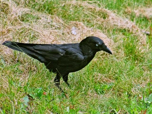 Cuervo de Mellor, Corvus mellori