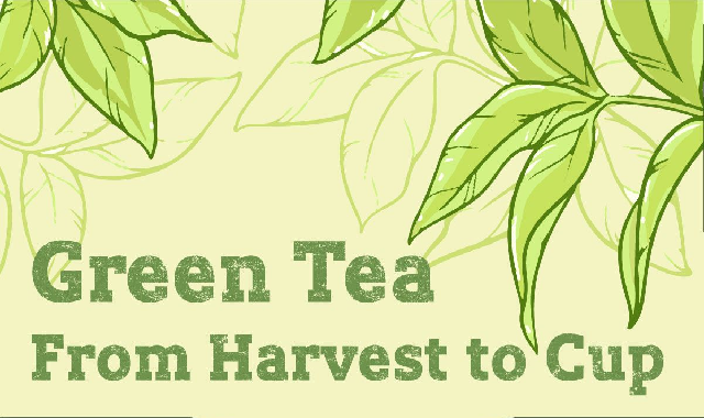 Green Tea From Harvest to Cup #infographic