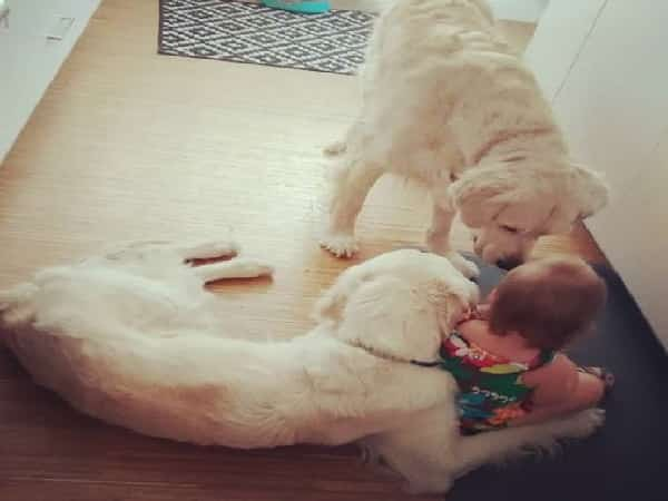 "Golden Retrievers Awaken Young Child To Be Companions In Their Funny ""Criminal offense""."
