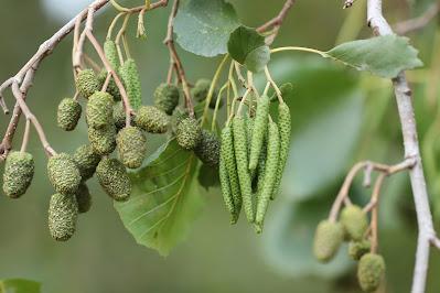 The British Alder Tree
