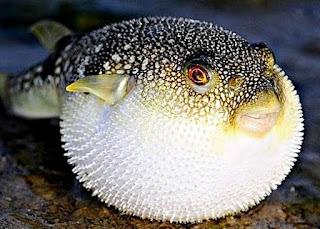 Lucu Ikan Buntal Dalam Air