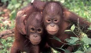 Klasifikasi orangutan