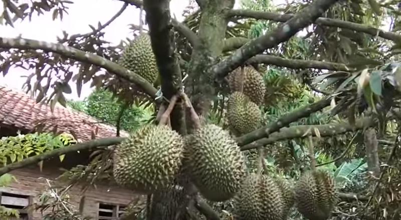Peluang Usaha Menjanjikan Budidaya Durian Untuk Pemula