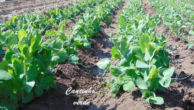Cultivo e sementeira da ervilha