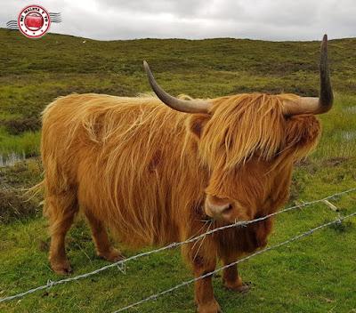 Escocia, vaquita con flequillo