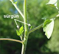 Bir domates gövdesindeki yeni büyümüş sürgünler
