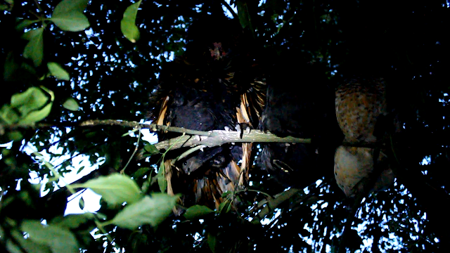 Mother and Father roosting with chick