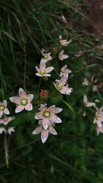 flori salbatice munte carpati bucegi petale albe cu pete roz saxifraga rotundifolia L. spp. heucherifolia