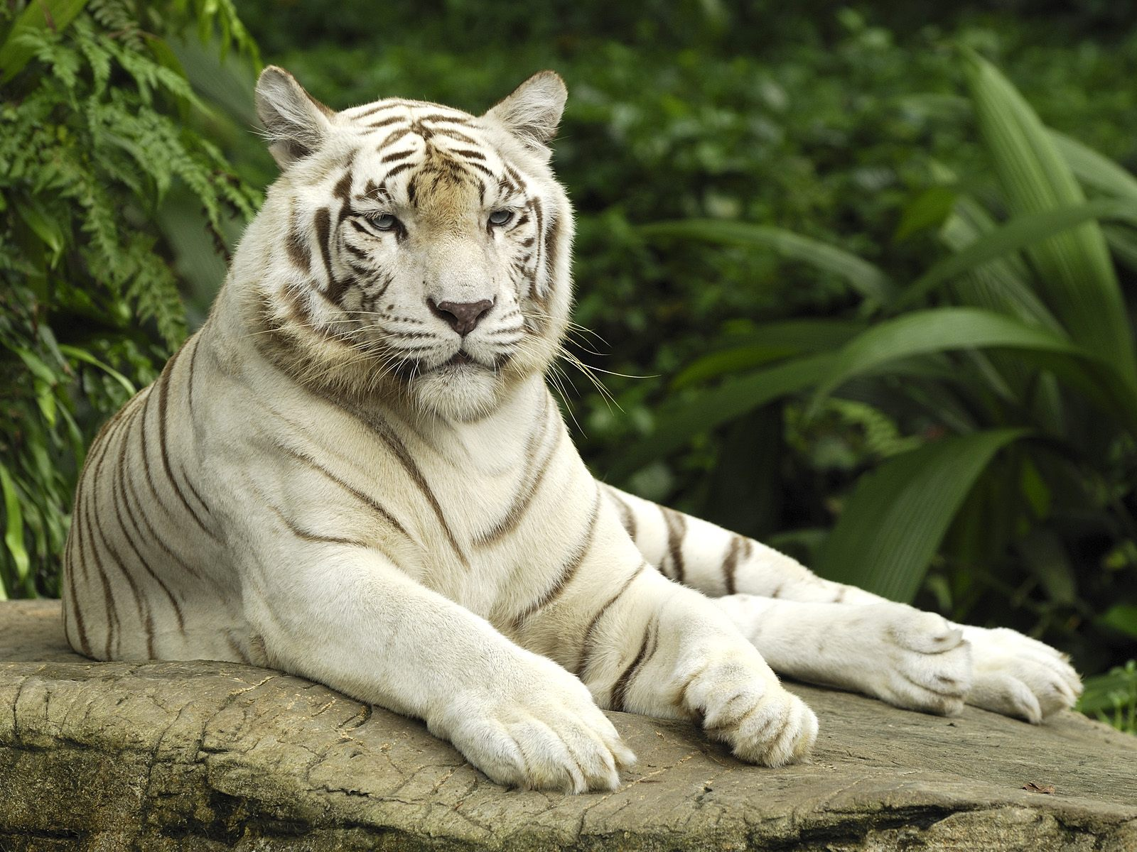 Hd Tiger Pictures Tiger Wallpapers: HD Wallpapers: White Tiger HD Wallpaper 1080p