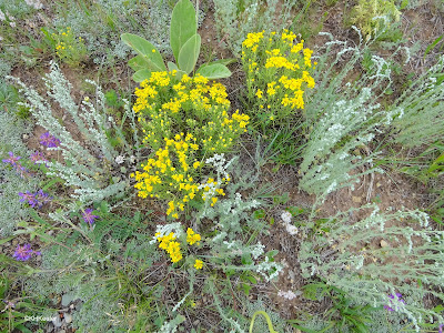 wildflowers, northern New Mexico