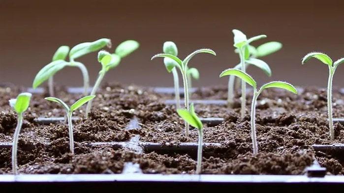 Domates nasıl çimlendirilir ?