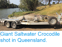 https://sciencythoughts.blogspot.com/2017/09/giant-saltwater-crocodile-shot-in.html