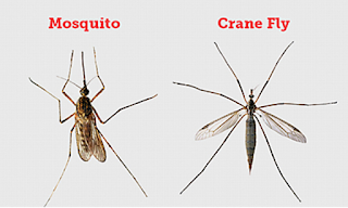A side-by-side of a Mosquito (on the left) and a Crane Fly (on the right)